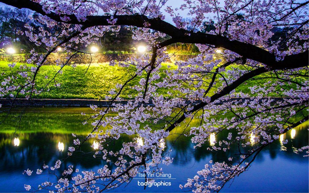 Cherry blossom trees light up at night, Chidorigafuchi and Kitanomaru Park