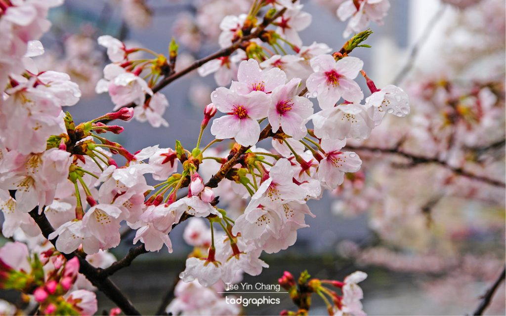 The cherry blossom (sakura) is the national flower of Japan. It is probably the most beloved flower among the Japanese.