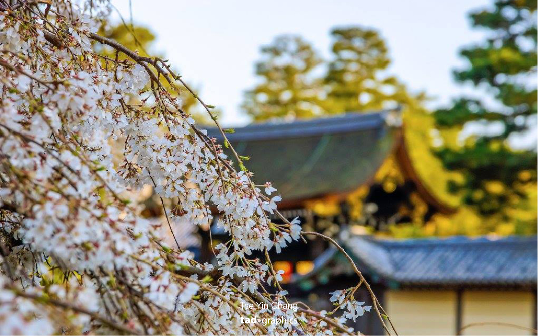 The Imperial Palace in Kyoto is definitely a great place to check out cherry blossoms