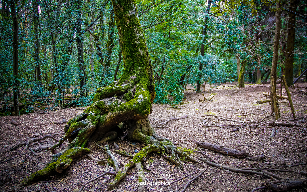 Ancient trees in Kasuga-taisha, Nara