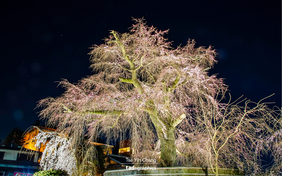 Maruyama-koen Park is cherry blossom central, the most popular spot in Kyoto for cherry blossom viewing