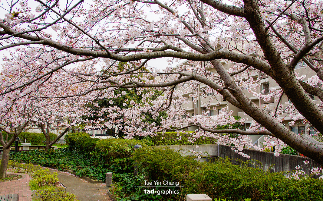 Cherry blossom are everywhere in spring