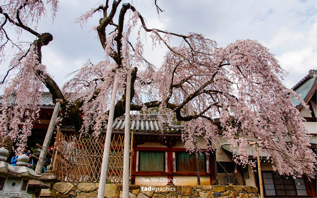 Himuro Shrine in Nara is known for its weeping pink cherry blossom trees that fill the grounds with pink petals in early April
